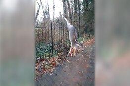 Hert afgeschoten in Santpoort-Noord na spietsing op hek