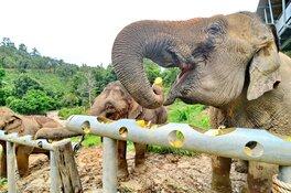 World Animal Protection start actie voor olifanten: 'Thaise olifanten in de problemen door coronacrisis'